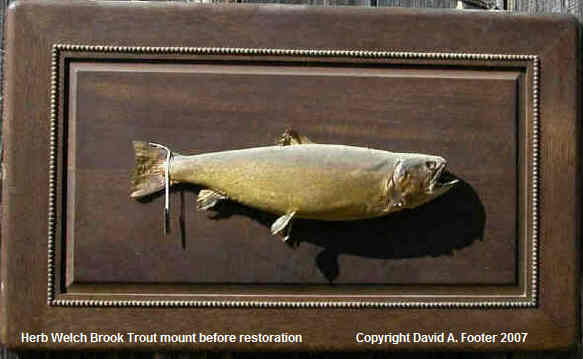 Herb Welch Brook Trout mount before restoration